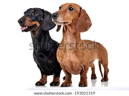Two Dachshunds staying in the white studio floor - stock photo