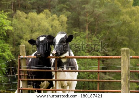 Two dairy cows looking over wrought iron gate in countryside. - stock photo