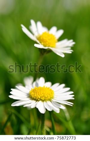 Two daisies in spring garden - stock photo