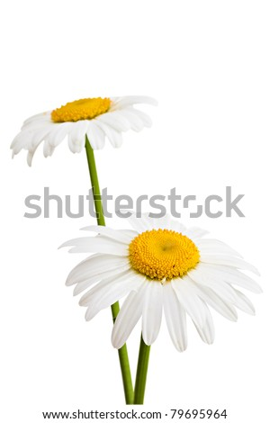 Two daisies isolated on a white background. - stock photo