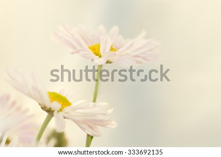 two daisies on a light background ,applied effects - stock photo