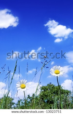 Two daisy on the meadow with blue sky - stock photo