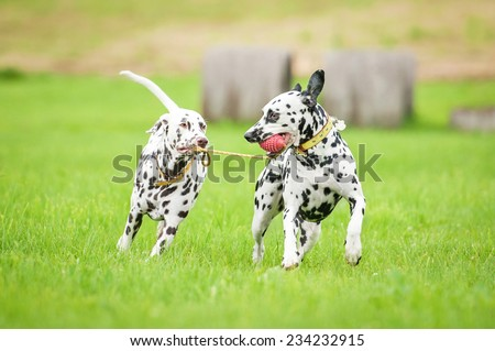 Two dalmatian dogs playing with one toy - stock photo