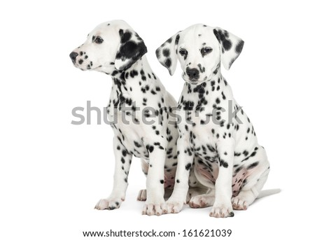 Two Dalmatian puppies, sitting next to each other, isolated on white - stock photo