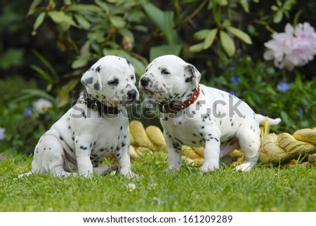 Two Dalmatian puppies three weeks old side by side - stock photo