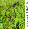 Two Damselflies form a heart while mating - stock photo