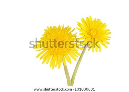 two dandelions - stock photo