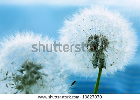 Two dandelions against the blue sky background - stock photo