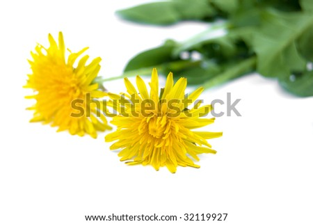 two dandelions  isolated on white background - stock photo