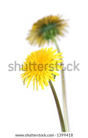 two dandelions over clear white background (taraxacum officinale) - stock photo