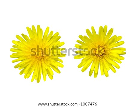 Two dandelions over white background - stock photo