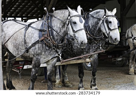 Two dappled gray horses standing under a roof ready to pull a farmer's wagon. - stock photo