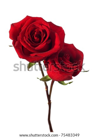 two dark red roses isolated on white - stock photo