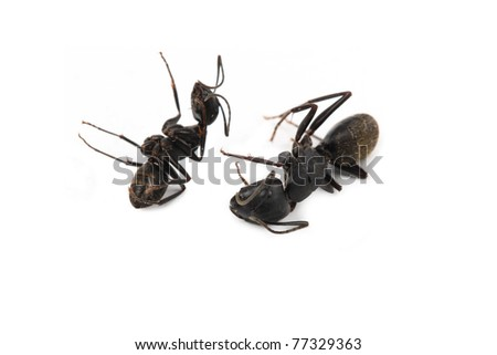two dead  ant on a white background - stock photo