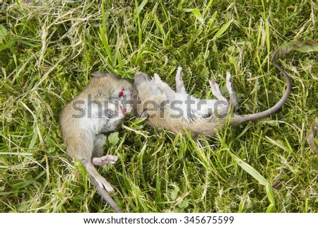 Two dead mice lying in the grass with trace of blood where the domestic cat which caught them has bitten in.