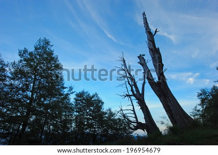 Two dead trees and several tall evergreen trees. - stock photo