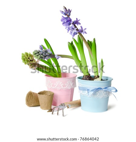 Two decorative hyacinths blossom in pot on a white background