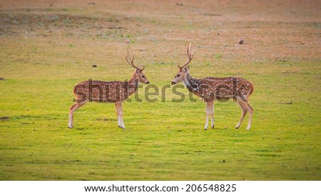 Two Deers ready for a fight - stock photo
