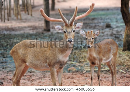 Two Deers Staring - stock photo