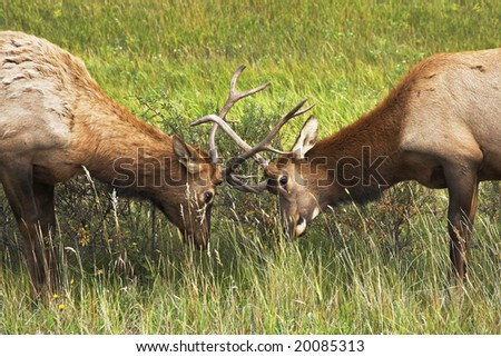 Two deers struggle on a wood marge