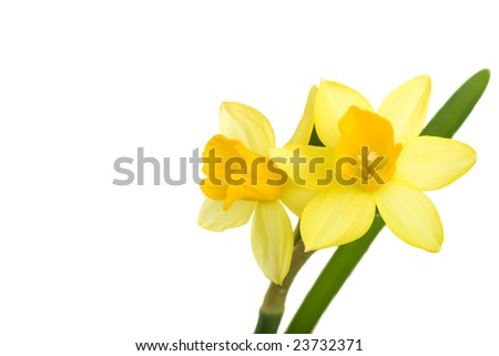 Two delicate daffodil blossoms isolated on white. - stock photo