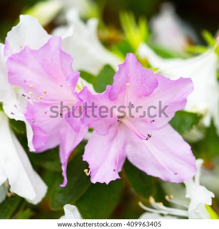 Two delicate lilac flower, bud of rhododendron, bloom on a branch on a background of white flowers - stock photo
