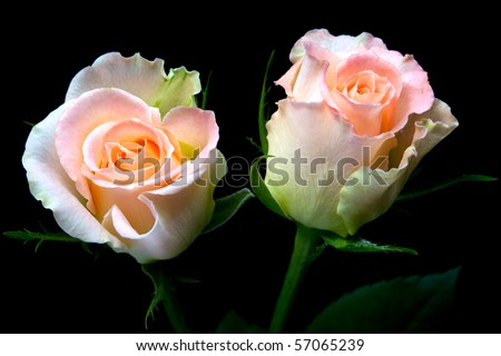 two delicate peach roses with light pink core and with leaves isolated on black
