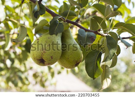 Two delicious and ripe pears on tree branch  - stock photo