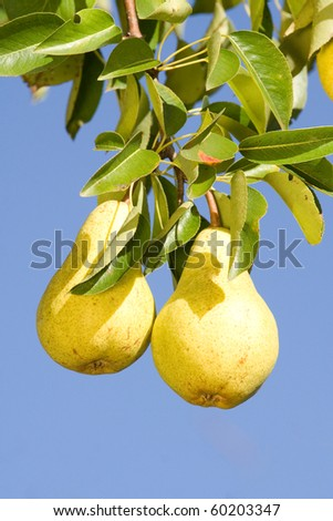 Two delicious and ripe pears on tree branch against blue sky.