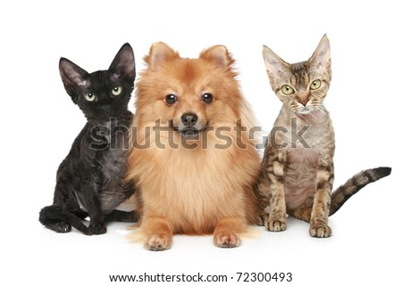 Two Devon Rex cats and Spitz dog on a white background - stock photo