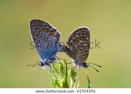 two dewy butterflies mate - stock photo