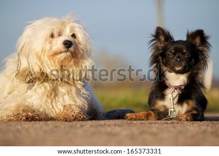 Two different dogs together, Havanese and Pinscher