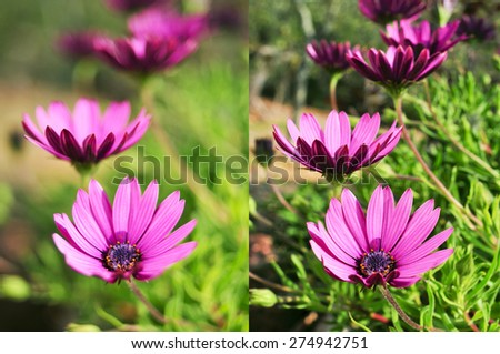 two different photos of some purple flowers shot with different apertures, the left with an aperture of f/2 and the right with an aperture of f/22 - stock photo