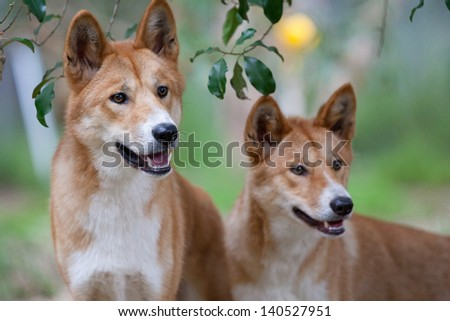 Two dingoes look for possible food near Melbourne, Victoria, Australia - stock photo