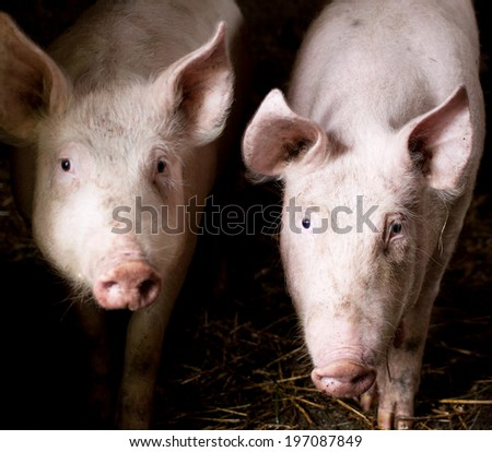 two dirty pigs in the farm - stock photo