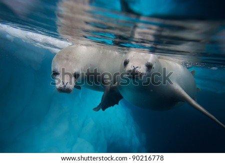 two diving crabeater seals (Lobodon carcinophagus) - stock photo