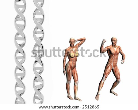 Two dna strands,  muscular anatomical correct male, female model.  Muscles as layer map on body. Evolution concept.
