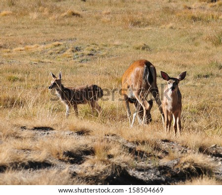 Two doe mule deer, each with their fawn, are grazing in an open field at Yosemite National Park/ Deer/ Wildlife sightings is a very popular part of family vacations in the southwest. - stock photo