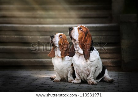 two dog Basset hound sitting and looks up at light - stock photo