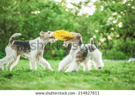 Two dog breeds Fox-Terrier play with plate on green lawn. - stock photo