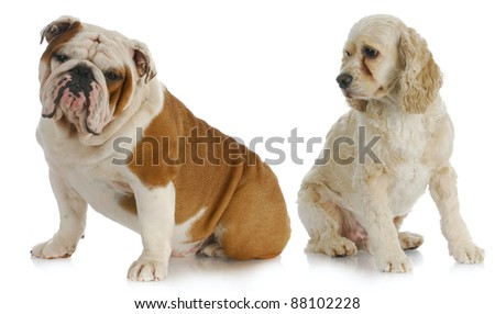 two dogs - american cocker spaniel looking over shoulder at english bulldog on white background - stock photo