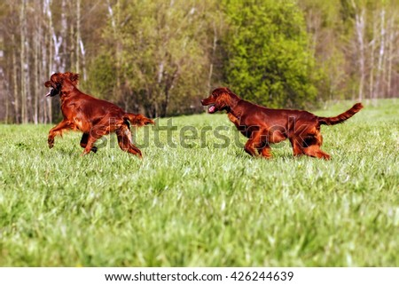 two dogs an Irish setter chasing each other on the green meadow in summer - stock photo