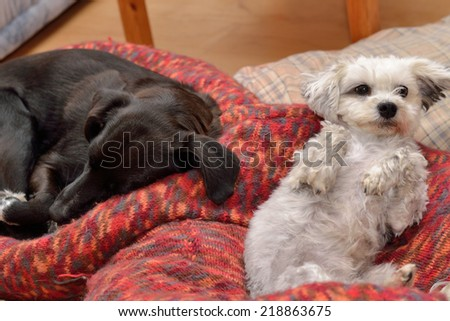 Two dogs are in the dog bed - stock photo