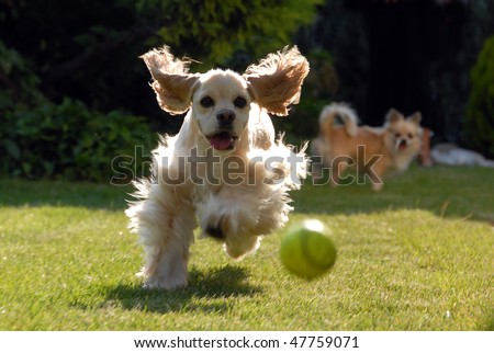Two dogs are playing and chasing each other - stock photo