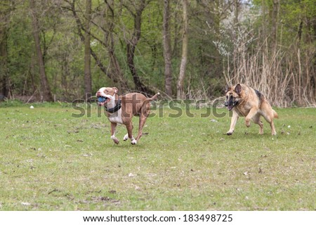 Two dogs chasing each other - stock photo