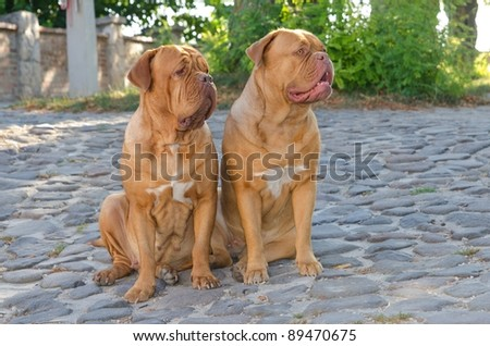Two dogs de bordeaux sitting on a cobbled street - stock photo