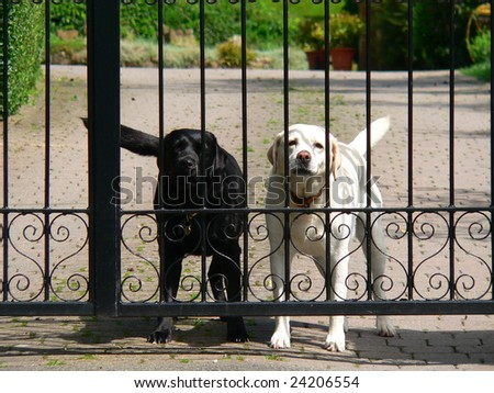 two dogs defending their territory behind a black iron gate