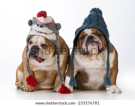 two dogs dressed for winter - english bulldogs wearing winter hats - stock photo