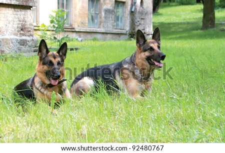 Two dogs, German shepherd, lie in a green grass near the house - stock photo