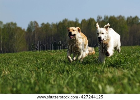 two dogs Golden Retriever fun run in the summer on the nature of each other - stock photo